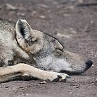 Sleeping Wolf by Anna Phillips