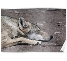 Sleeping Wolf Poster