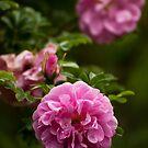 Pink Roses by Skye Hohmann