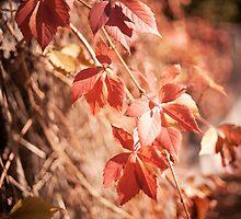 Parthenocissus quinquefolia vine red leaves  by Arletta Cwalina