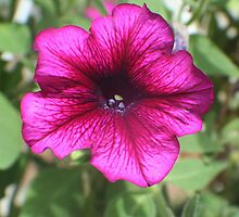 Psychedelic Petunia by Karen K Smith