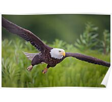 Bald Eagle- Low Pass Poster