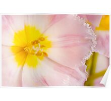Yellow stamen of pink tulip macro inside  Poster