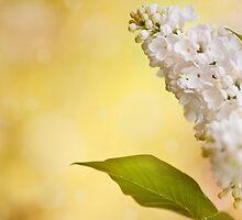 White Syringa vulgaris or lilac flowers  by Arletta Cwalina