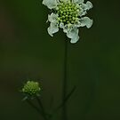 Wild flower of forest by Antanas