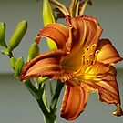Orange Lily 2 by baronpollak