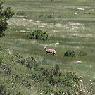 Sheepish by Dean Mucha