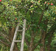 Apple Picking Season by by M LaCroix