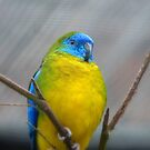 I'm Poised...I Won't Blink!!!! -Turquoise Parrot - Dunedin - Otago - NZ by AndreaEL