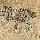 Camouflage in the Winter Grass - Kruger National Park by eyedocbrian