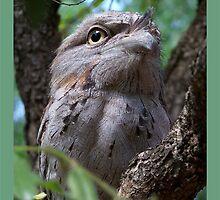 Tawny Frog-Mouth Owl by jono johnson