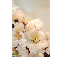 Beautiful blossoms on white Photographic Print