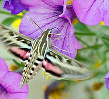 Hummingbird Moth by A.M. Ruttle
