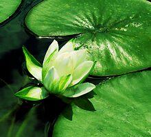 Beautiful Lilypad by Marcia Rubin