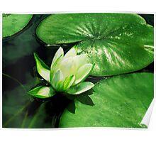 Beautiful Lilypad Poster