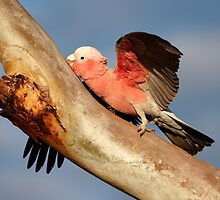 Galah ~ Just Another Tree Hugger by Robert Elliott