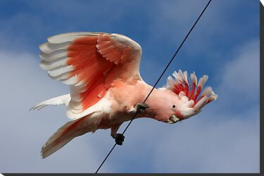 Major Mitchell's Cockatoo (Pink Cockatoo) ~ The Entertainer by Robert Elliott