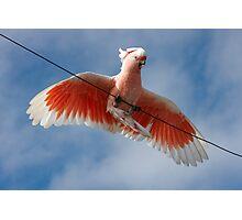 Major Mitchell's Cockatoo (Pink Cockatoo) ~ Circus Act Photographic Print