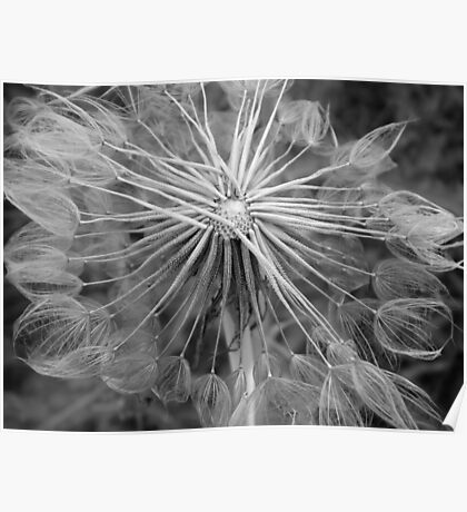 Salsify Seedhead Poster
