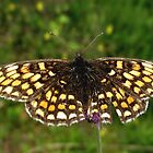 Heath Fritillary by SophiaDeLuna
