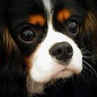 Beautiful Cavalier Called Lily by AnnDixon