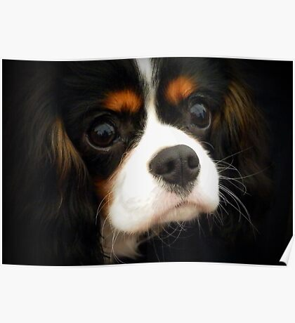 Beautiful Cavalier Called Lily Poster