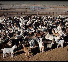Wild Goats!  by Anna Ryan
