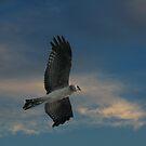 Spotted Harrier by byronbackyard