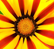 Vibrant Spring - Striped Gazania by Akrotiri