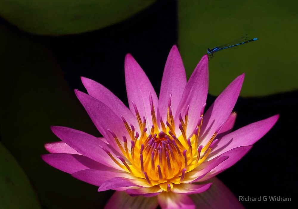 Damselfly on a water lily by Richard G Witham