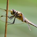 The Dragonfly's Expert Grip  by Geoimages