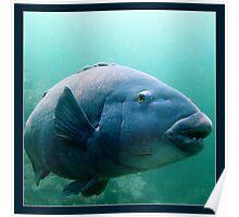 Blue Grouper Poster