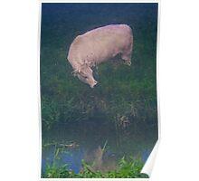 White cow Poster