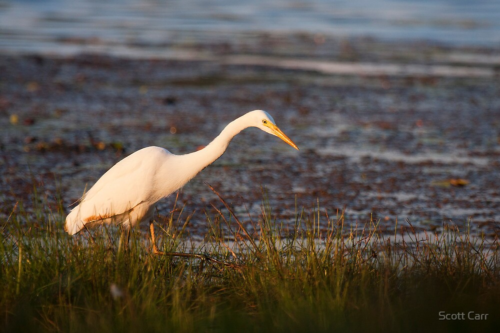 Great White Egret by Scott Carr