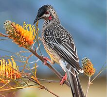 Red Wattlebird by Jorge's Photography