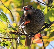 Regent Bowerbird by paulinea