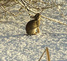 Rabbit in the snow by John Butterfield