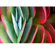 Kalanchoe Aglow  Photographic Print