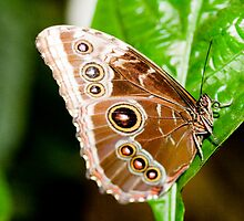 Beautiful Brown Butterfly by Michelle Callahan