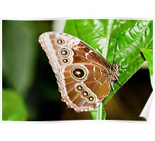 Beautiful Brown Butterfly Poster