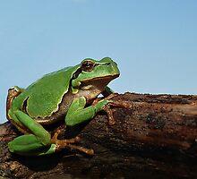 Sunbathing European Tree Frog ( Hyla arborea)  by Istvan Natart