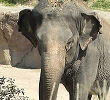Indian Elephant by ivanfeltonglenn