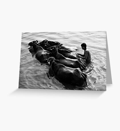 Washing cattle Greeting Card
