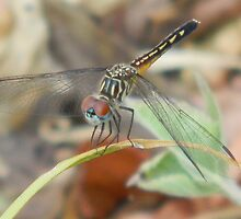 Blue Dasher Skimmer - female by Navigator