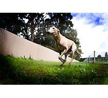Greyhound Racing Photographic Print