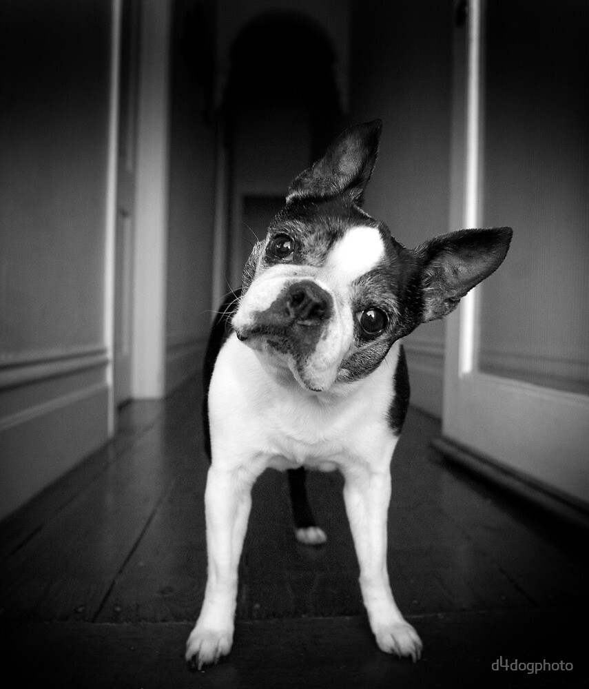 Bailey Head Slant by d4dogphoto
