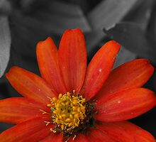Bursting  Reddish Orange by Wviolet28