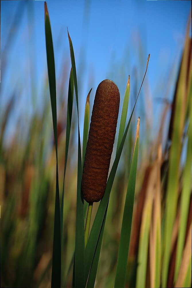 Cattail Swaying by Robert Bertino