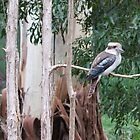 Kookaburra in the old Gum Tree (2) by Pauline Tims
