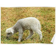 White Lamb in a Meadow Poster